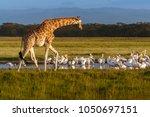 rothschild's giraffe  giraffa... | Shutterstock . vector #1050697151