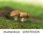 russula foetens mushroom  | Shutterstock . vector #1050701024