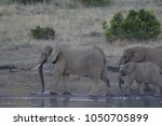 a family of elephants in kruger ... | Shutterstock . vector #1050705899