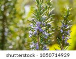 rosemary plant on the blossom... | Shutterstock . vector #1050714929