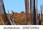 Bird Resting On Saguaro Ribs ...