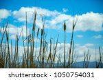 tall grass against blue sky | Shutterstock . vector #1050754031