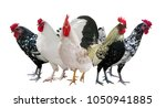 group of roosters isolated on... | Shutterstock . vector #1050941885