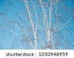 trunks of birch trees  birch... | Shutterstock . vector #1050948959