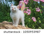 Stock photo kitten color point in pink colors 1050953987