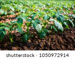 young potato plant in the field ...   Shutterstock . vector #1050972914
