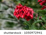 cockspur coral tree  erythrina... | Shutterstock . vector #1050972941