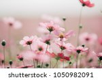 Cosmos Flowers Background In...