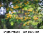 defocus of ebony flower tree in ... | Shutterstock . vector #1051007285