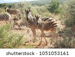 a baby zebra togehter with its...   Shutterstock . vector #1051053161