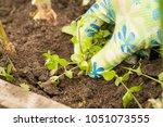 hand of gardening weeding... | Shutterstock . vector #1051073555