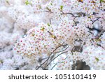 beautiful sakura or cherry... | Shutterstock . vector #1051101419