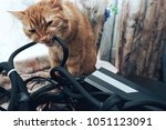 Stock photo ginger cat tries to bite the wires on mining computer open stand 1051123091