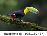 Keel Billed Toucan   Ramphastos ...