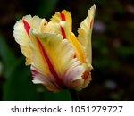 Yellow Bud Of Tulip  Macro Shot ...