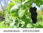 bunch of black grapes in vinery ... | Shutterstock . vector #1051312364