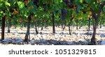 vineyards in provence in the...   Shutterstock . vector #1051329815