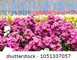 beautiful pink chrysanthemum... | Shutterstock . vector #1051337057