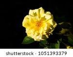 Yellow Dog Rose Flower  Dark...