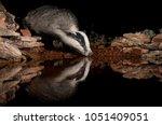 european badger drinking water... | Shutterstock . vector #1051409051