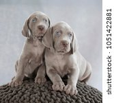 Stock photo three puppies of weimaraner on sitting on grey background 1051422881