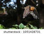 robin  in flight  erithacus...   Shutterstock . vector #1051428731