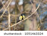great tit perched on a bare... | Shutterstock . vector #1051463324