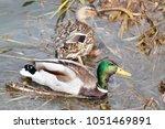 male and female mallard  anas... | Shutterstock . vector #1051469891