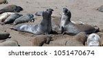 Northern Elephant Seals...