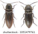 Small photo of Agriotes lineatus (left) and Agriotes obscurus (right) are a beetles from the family of Elateridae. It larvae are important pest in soil of many crops.