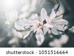 soft focus image of blossoming...   Shutterstock . vector #1051516664