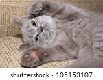 Stock photo grey kitten on the bed 105153107
