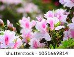 Beautiful Azalea Flowers In A...