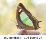 Small photo of blue green beutiful butterfly: The Pallid Nawab on finger