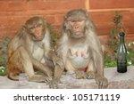 Two Drunken Monkey Sitting...