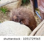 an aged porcupine basking in... | Shutterstock . vector #1051729565