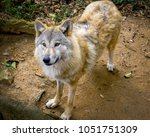 himalayan wolf  a subspecies of ...   Shutterstock . vector #1051751309