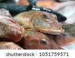 rode poon or tub gurnard north... | Shutterstock . vector #1051759571