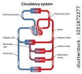 diagram of human circulatory... | Shutterstock .eps vector #1051872377