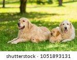 family of golden retrievers on... | Shutterstock . vector #1051893131