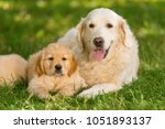 selective focus on a retriver... | Shutterstock . vector #1051893137