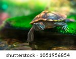 Red Eared Terrapin   Trachemys...