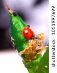 Small photo of Macro of ladybug Adalia bipunctata eating aphids on stem biological plant protection insecticide natural