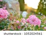 pink rosebush in summer garden...