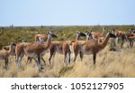 guanacos at punta tombo | Shutterstock . vector #1052127905
