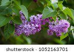 lilac  park  flora  cologne.... | Shutterstock . vector #1052163701