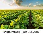 green ripening soybean field ...   Shutterstock . vector #1052169089