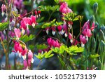 fine  flowers  . pink  cologne... | Shutterstock . vector #1052173139