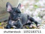 black french bulldog puppy... | Shutterstock . vector #1052183711