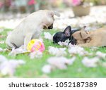 french bulldog puppy play a... | Shutterstock . vector #1052187389